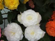 Ballarat Begonias
