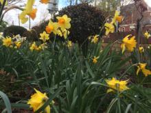 Daffodils always a delight
